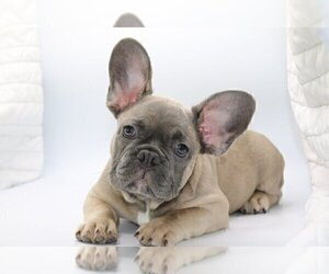 French Bulldog Puppy for sale in MACLEAN, VA, USA