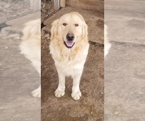 Father of the Golden Retriever puppies born on 09/12/2020