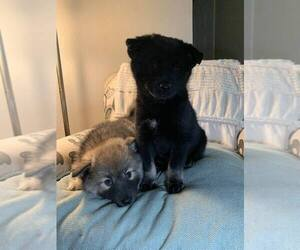 Pomsky Puppy for Sale in OAK HARBOR, Washington USA
