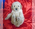 Small #16 Poodle (Miniature)