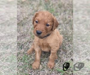 Golden Retriever Puppy for sale in NEWKIRK, OK, USA