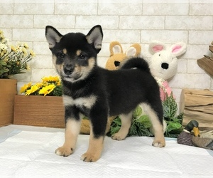 Shiba Inu Puppy for Sale in LOS ANGELES, California USA