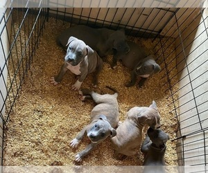 American Pit Bull Terrier Puppy for Sale in NAPLES, Florida USA