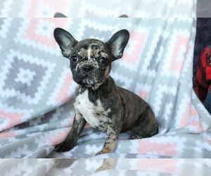 Faux Frenchbo Bulldog Puppy for Sale in SHILOH, Ohio USA