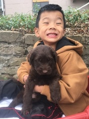 Labradoodle Puppy For Sale in BRADLEYVILLE, MO, USA
