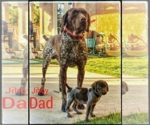 German Shorthaired Pointer Puppy for sale in CORONA, CA, USA