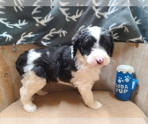 Aussiedoodle Puppy for sale in ALLIANCE, NE, USA