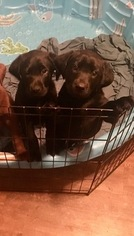 Labrador Retriever Puppy For Sale in PELZER, SC, USA
