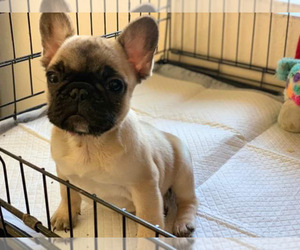 French Bulldog Puppy for Sale in PALMDALE, California USA