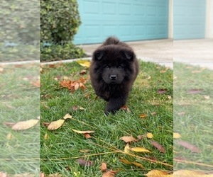Chow Chow Puppy for Sale in CHULA VISTA, California USA