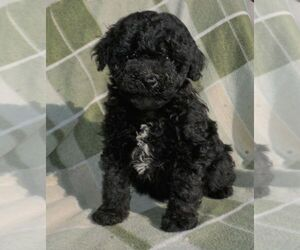 Poodle (Miniature) Puppy for sale in FORT PLAIN, NY, USA