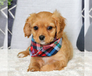Cavapoo Puppy for sale in CARMEL, IN, USA