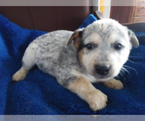 Australian Cattle Dog Dog for Adoption in GR, Michigan USA