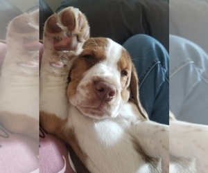 Beagle Puppy for Sale in REASNOR, Iowa USA