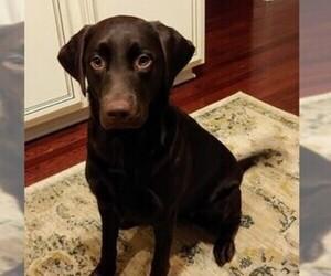 Labrador Retriever Puppy for sale in KERNERSVILLE, NC, USA