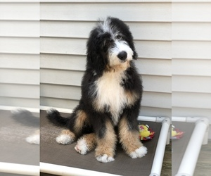 Bernedoodle Puppy for Sale in HOPATCONG, New Jersey USA
