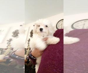 Cavachon Dog for Adoption in RACINE, Wisconsin USA