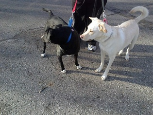 Prince - Black Labrador Retriever / German Shorthaired Pointer / Mixed (short coat) Dog For Adoption