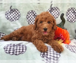 Cavapoo-Poodle (Miniature) Mix Puppy for sale in LAKELAND, FL, USA