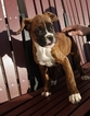 Boxer Puppy For Sale in ARTHUR, IL,