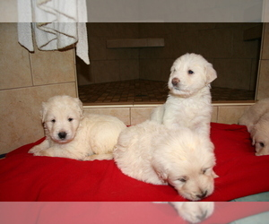 Labradoodle Puppy for sale in FAIRFIELD, CA, USA
