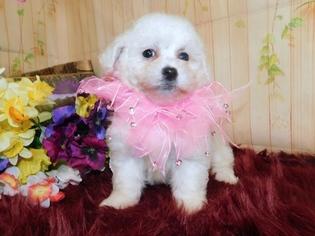 Zuchon Puppy for sale in HAMMOND, IN, USA