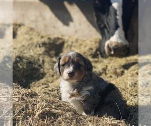 Aussie-Poo Puppy for sale in MAZEPPA, MN, USA