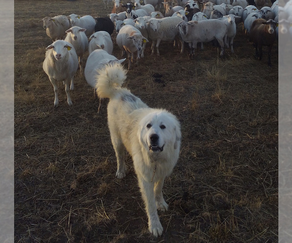 Medium Photo #1 Great Pyrenees-Newfoundland Mix Puppy For Sale in LOVELL, WY, USA