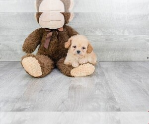 Cavapoo Puppy for sale in CLEVELAND, NC, USA