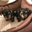 Yorkshire Terrier Puppy For Sale in HACIENDA HEIGHTS, CA, USA