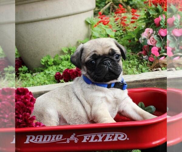Medium Photo #1 Pug Puppy For Sale in CHARLOTT HALL, MD, USA