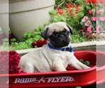 Small Photo #1 Pug Puppy For Sale in CHARLOTT HALL, MD, USA