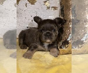 French Bulldog Puppy for Sale in TUCSON, Arizona USA