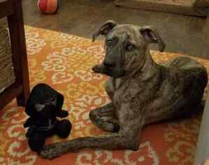 Plott Hound Mix Dog for Adoption in CENTRAL, South Carolina USA