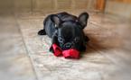 French Bulldog Puppy For Sale in FALLON, NV, USA