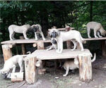 Small Kangal Dog