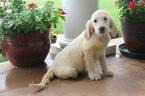 Golden Retriever Puppy For Sale in DENTON, TX, USA