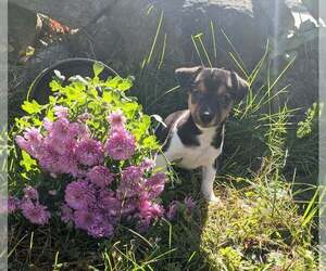 Jack Russell Terrier Puppy for Sale in SANDOWN, New Hampshire USA