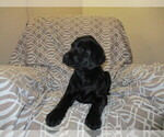 Small Labrador Retriever