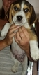 Beagle Puppy For Sale in CENTRALIA, WA, USA