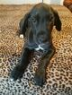Great Dane Puppy For Sale in PLUMMER, ID, USA
