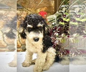 Bernedoodle Puppy for sale in CHATHAM, PA, USA