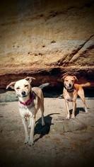 Australian Shepherd-Pug Mix Puppy For Sale in ESCONDIDO, CA