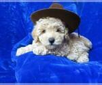 Puppy 0 Poodle (Miniature)