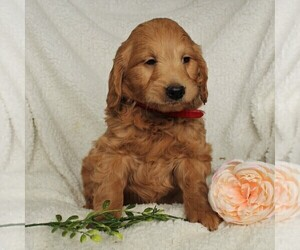 Goldendoodle (Miniature) Puppy for sale in LEOLA, PA, USA