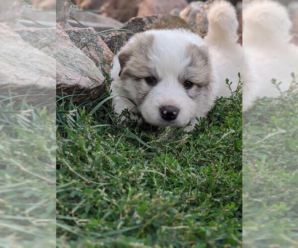 Medium Photo #108 Great Pyrenees Puppy For Sale in FALCON, CO, USA
