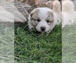 Small #107 Great Pyrenees