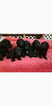Goldendoodle Puppy For Sale in MORRIS, AL,