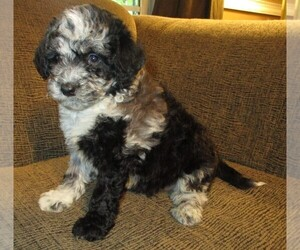 Aussie-Poo Puppy for Sale in LINCOLN, Alabama USA