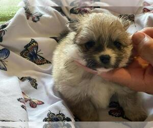 Pomsky Puppy for sale in HAMDEN, CT, USA